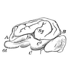 pig-brain-vintage-vector-19002130[1]